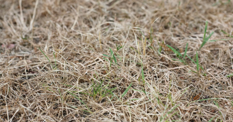 Is my Grass Dead from the Summer Heat?